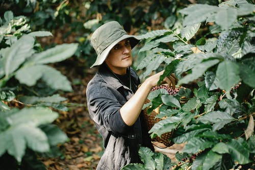 Calm man working in coffee plantation in daytime