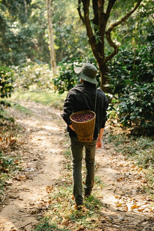 Back view of anonymous male gardener in casual clothes and hat carrying wicker basket full of ripe red berries while walking in green plantation during harvesting works