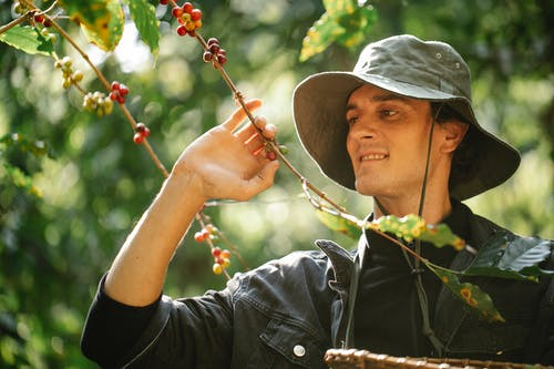 Farmer harvesting coffee fruits from shrub on plantation