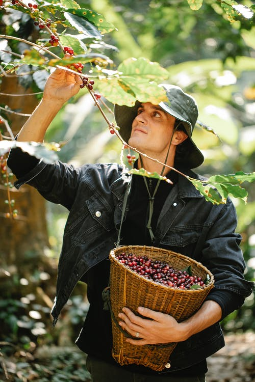 Young man harvesting coffee berries during work in farmland