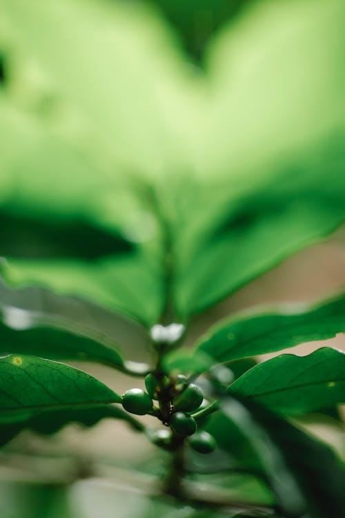 Green coffee berries growing on bush branch in sunlight
