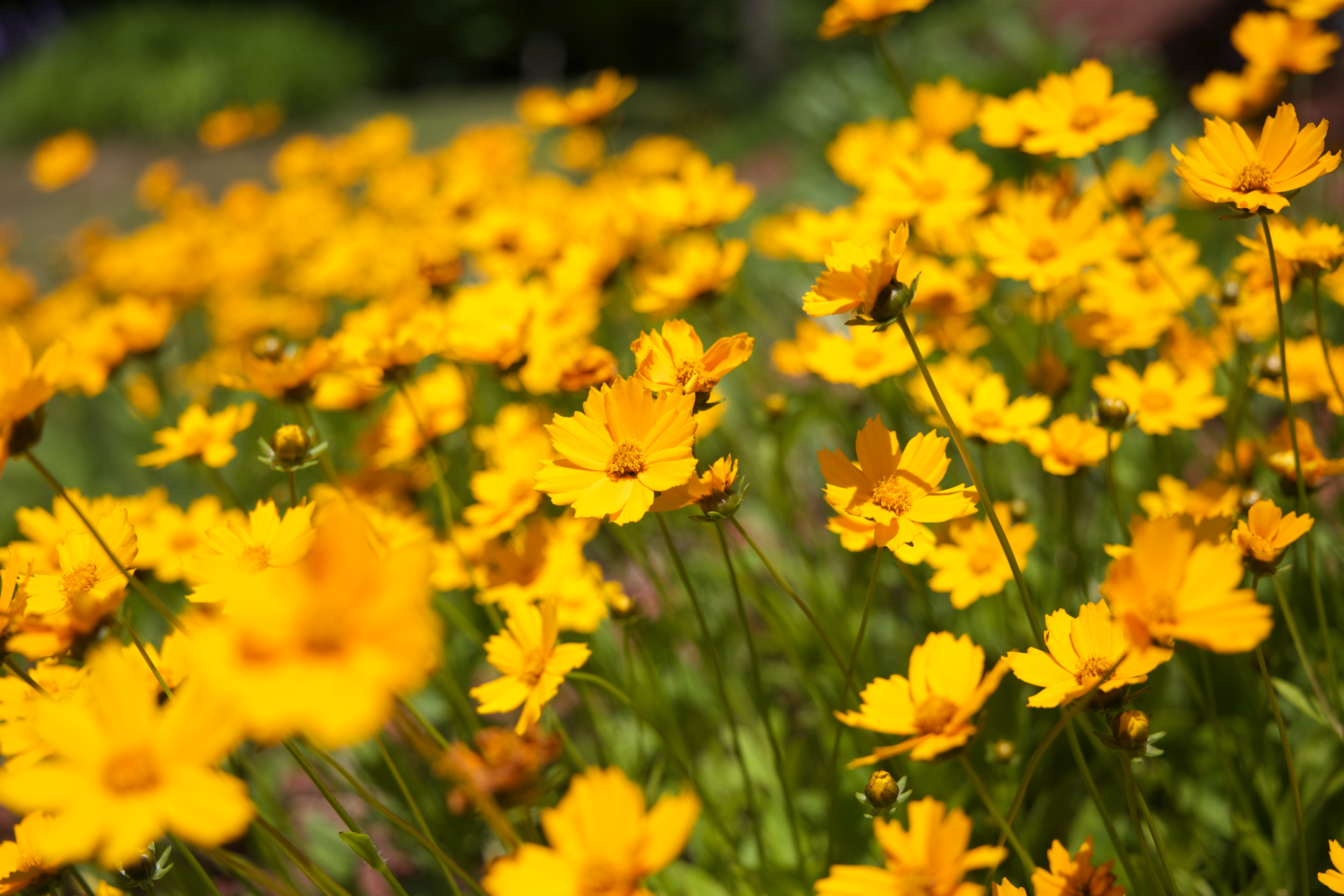 Selective Focus Photography Of Yellow Daisy Flowers Free