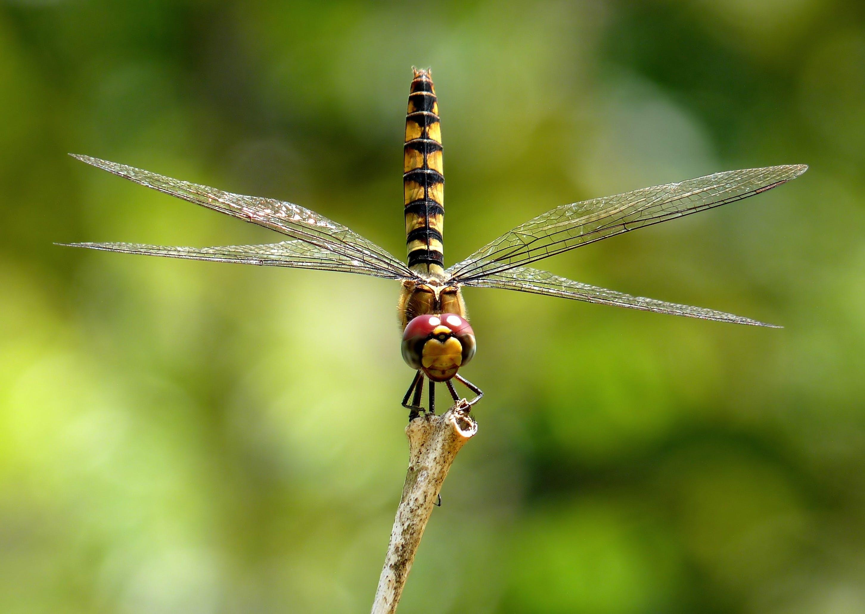 グレートクリムゾングライダー, トンボ, マクロ, 昆虫の無料の写真素材