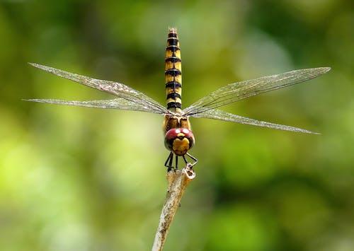 Kostenloses Stock Foto zu größer hochrot segelflugzeug, insekt, libelle, makro