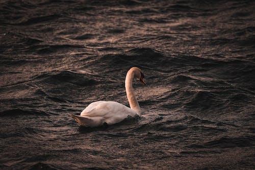 Graceful swan swimming in water