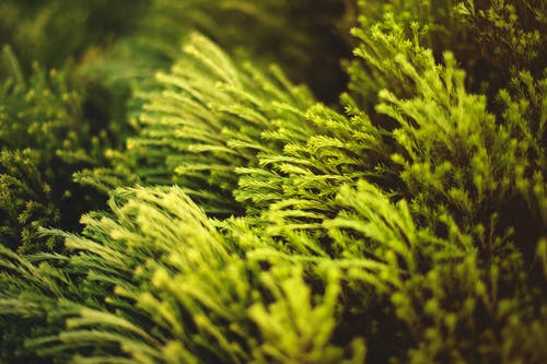 Ilmainen kuvapankkikuva tunnisteilla ikivihreä, kasvit, kasvu, lähikuva