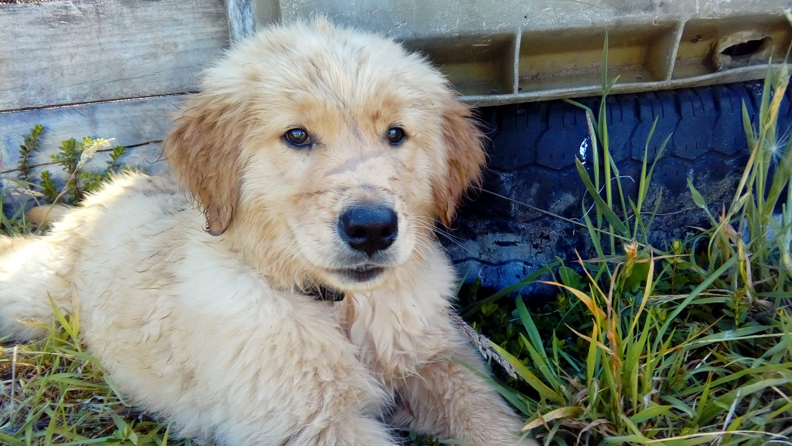 Free stock photo of baby dog, dog, golden retriever, grass