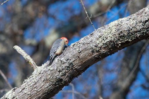 Free stock photo of Red-bellied Woodpecker