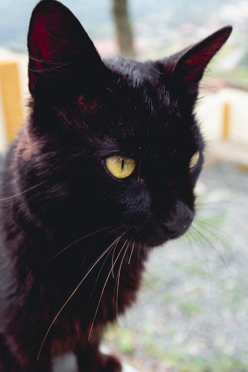 Foto profissional grátis de animal, bicho, cara de gato