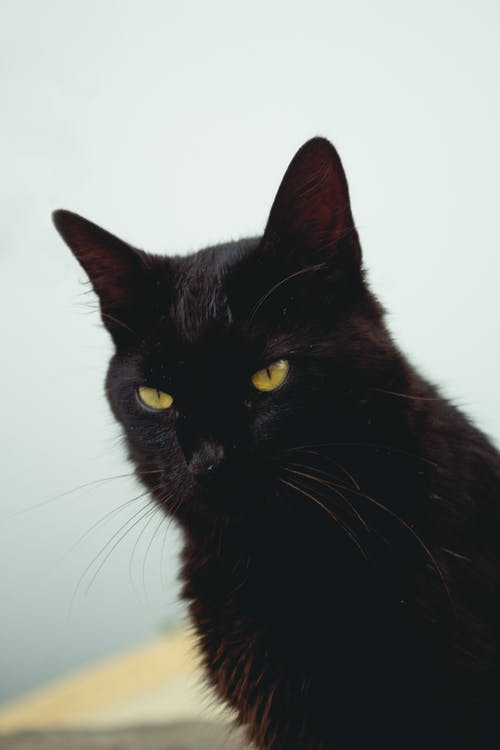 Black Cat With White Background