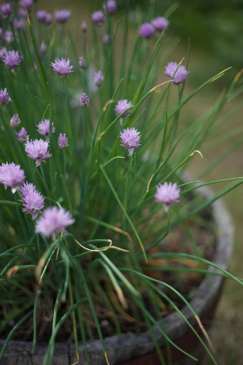 Free stock photo of chives, flowers
