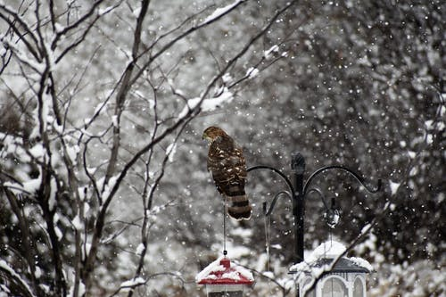 Free stock photo of animals, birds of prey, hawk