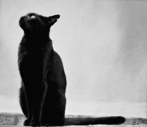 Free stock photo of bird catcher, black and white, black cat