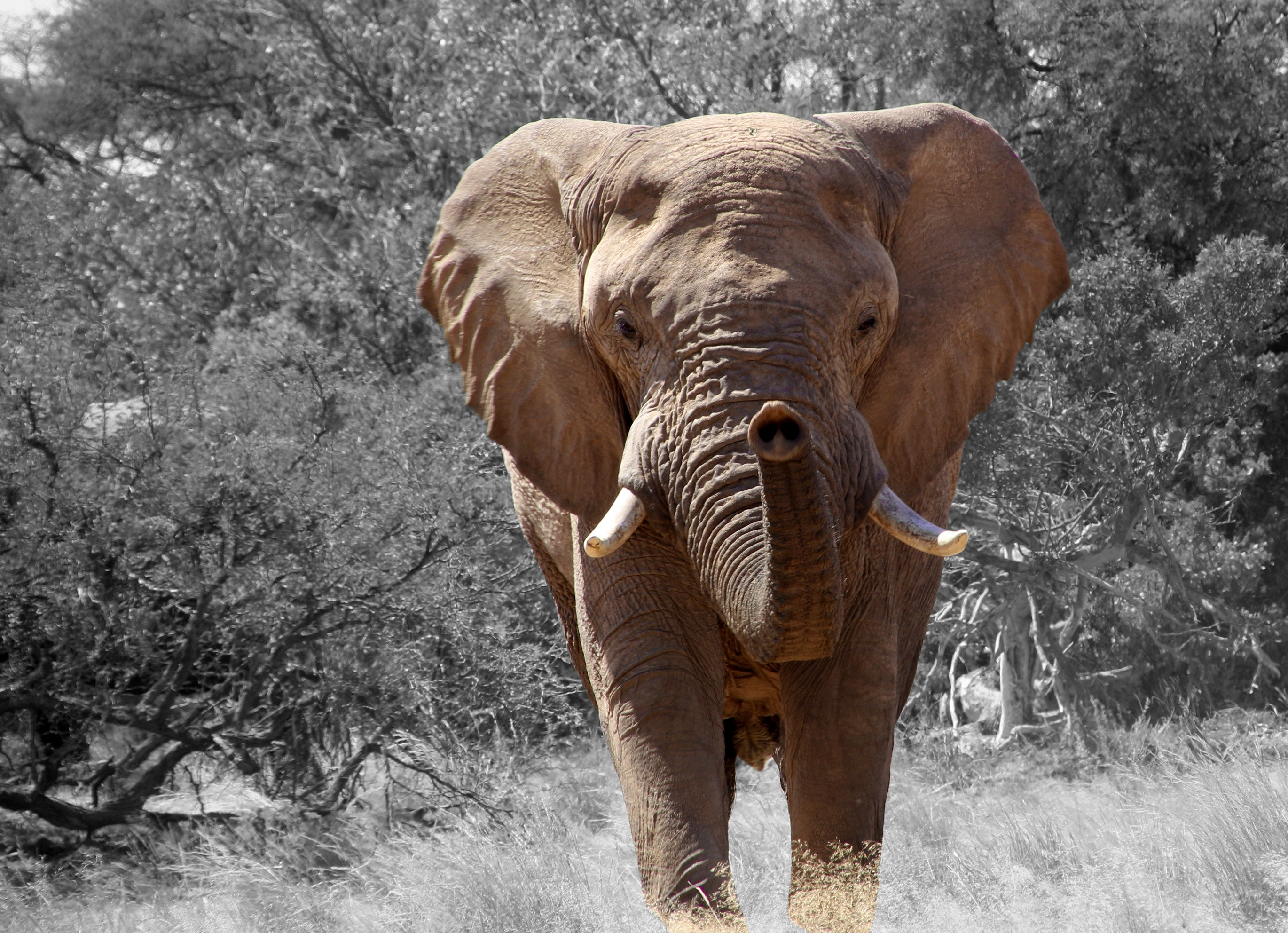 Free Stock Photo Of Africa African Bush Elephant African