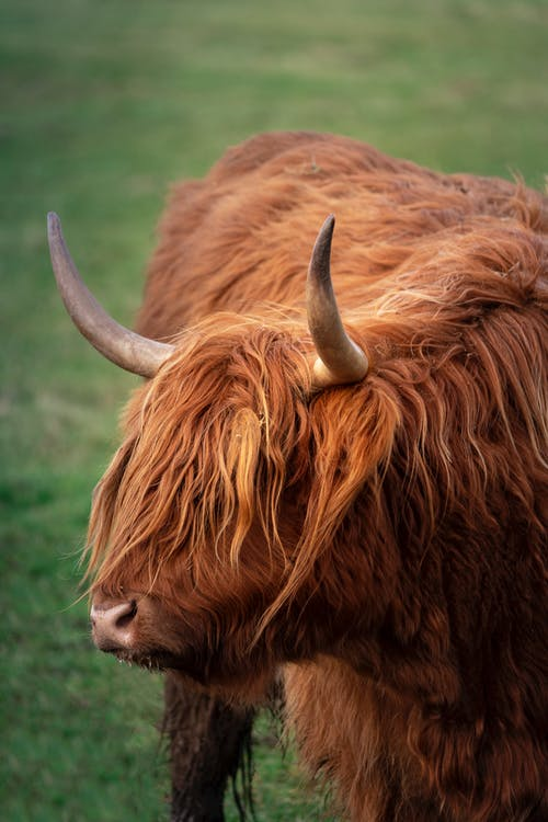 Highland cow on green meadow