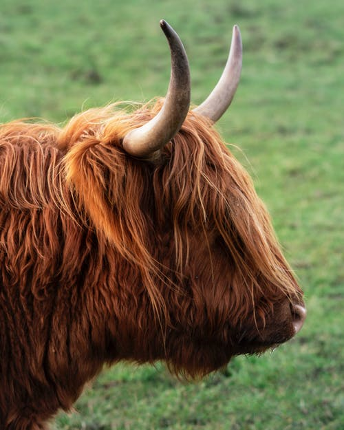 Big highland cow with long hair and big horns standing on green meadow while pasturing in countryside on summer day
