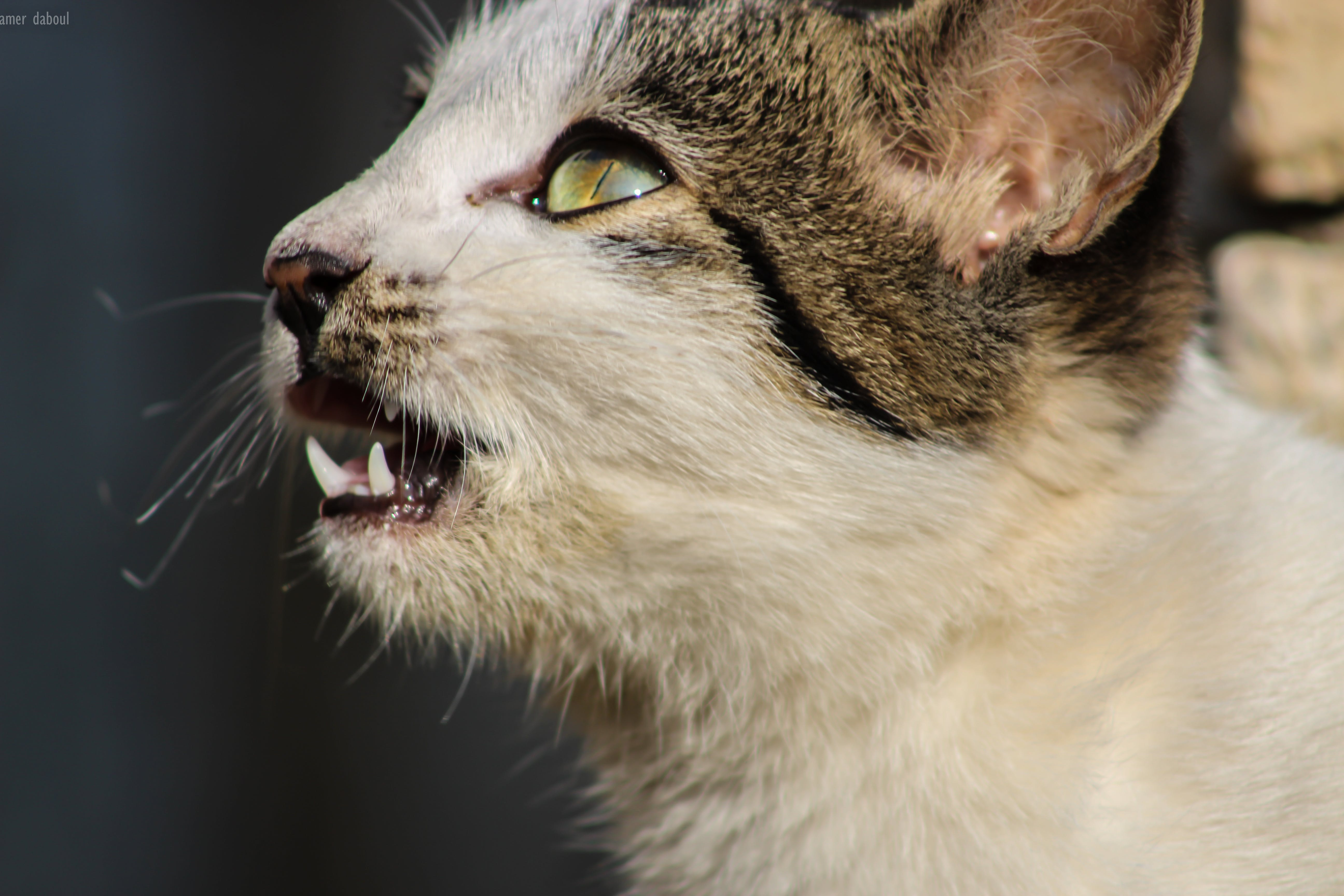 Free stock photo of big cat, canon, cat, cat face