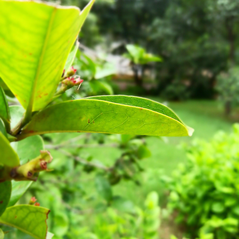 Free stock photo of evergreen, green leaf