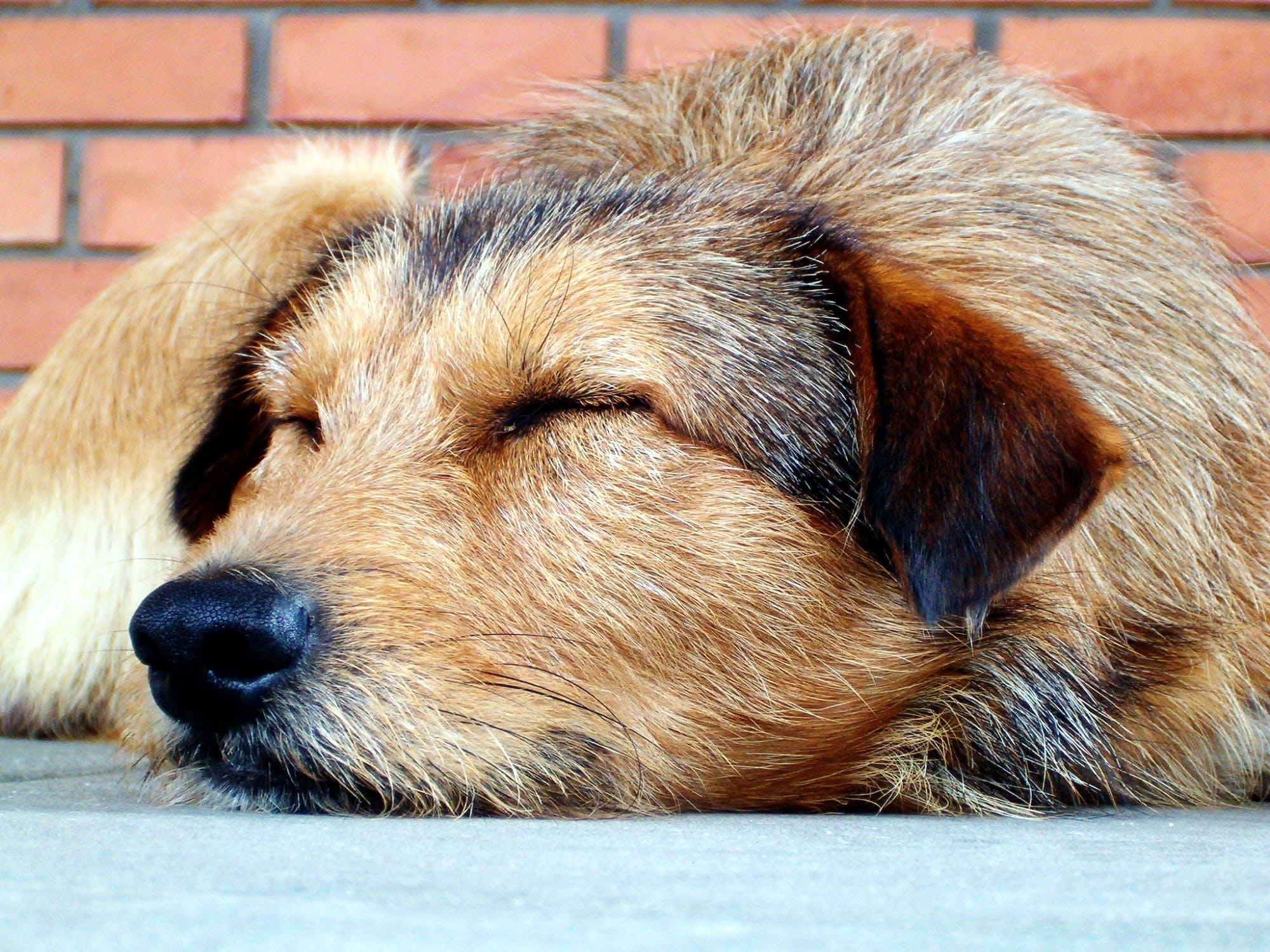 Tan and Black Long Coat Medium Dog