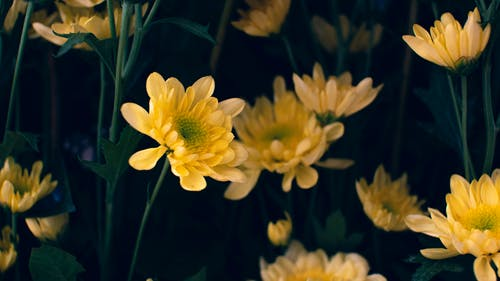 Blossoming aromatic yellow chrysanthemums with thin green stems growing in garden against blurred dark background