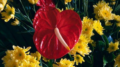 Bright red anthurium flower growing among fresh blooming yellow chrysanthemum flowers in daylight