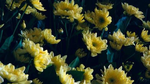 Fresh yellow chrysanthemums against dark background