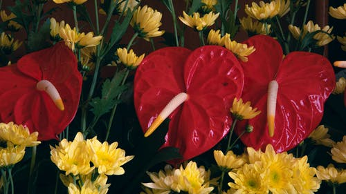 Blossoming bright red anthurium flowers growing near yellow aromatic chrysanthemums against dark background in daylight