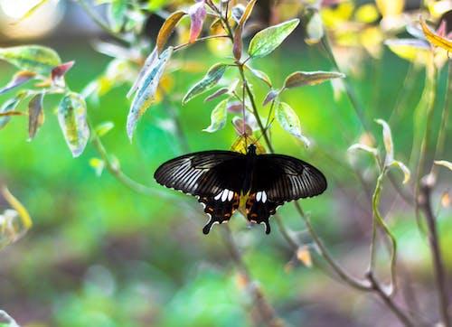 Základová fotografie zdarma na téma canon, černá, černý motýl, fotografie přírody