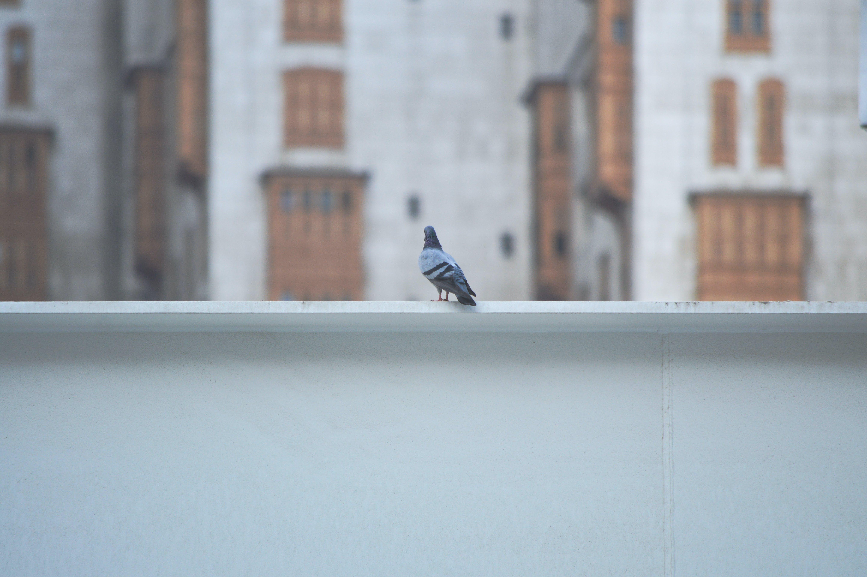Free stock photo of alone, bird, dove, mekka