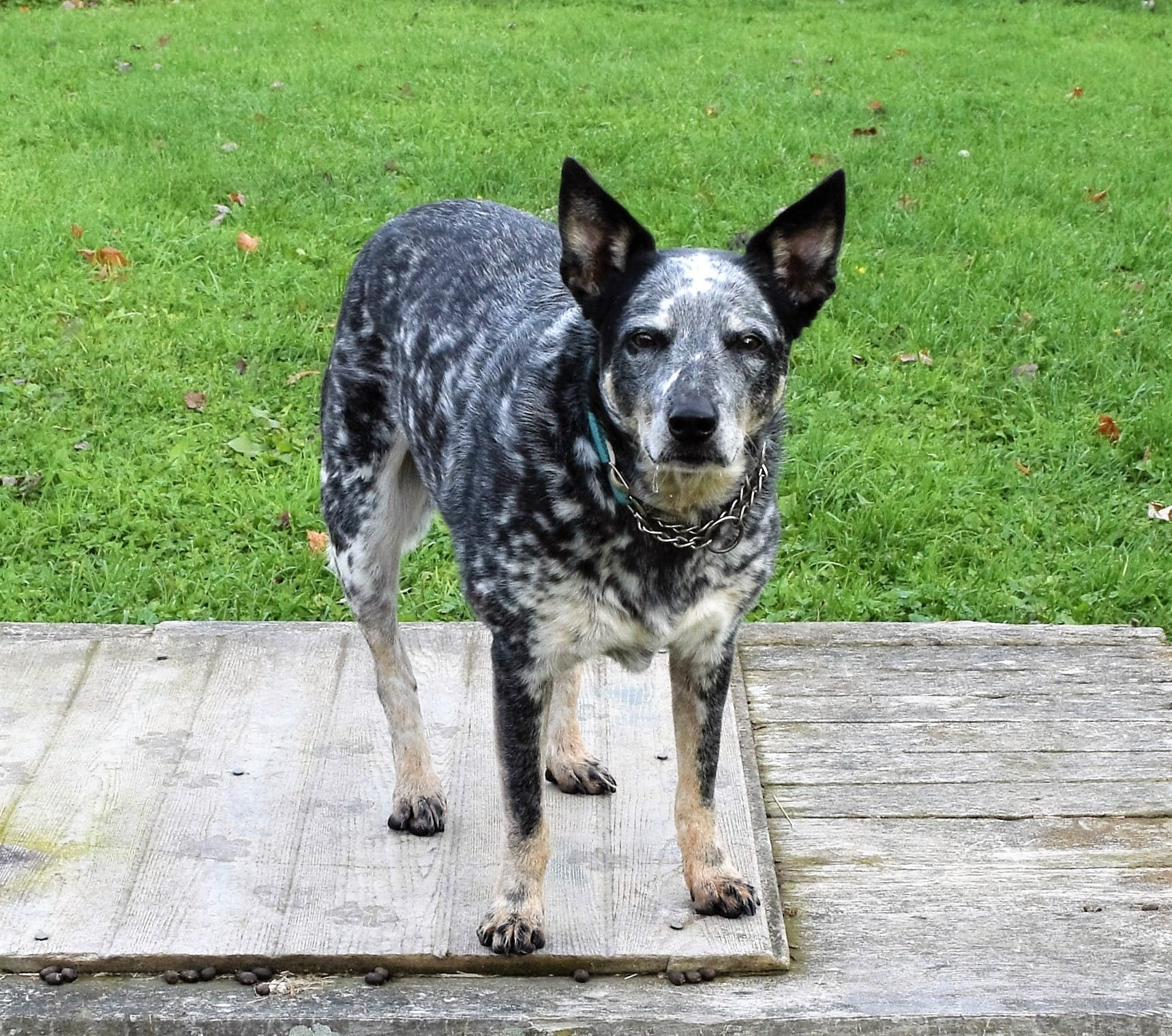 Free stock photo of Cattle dog