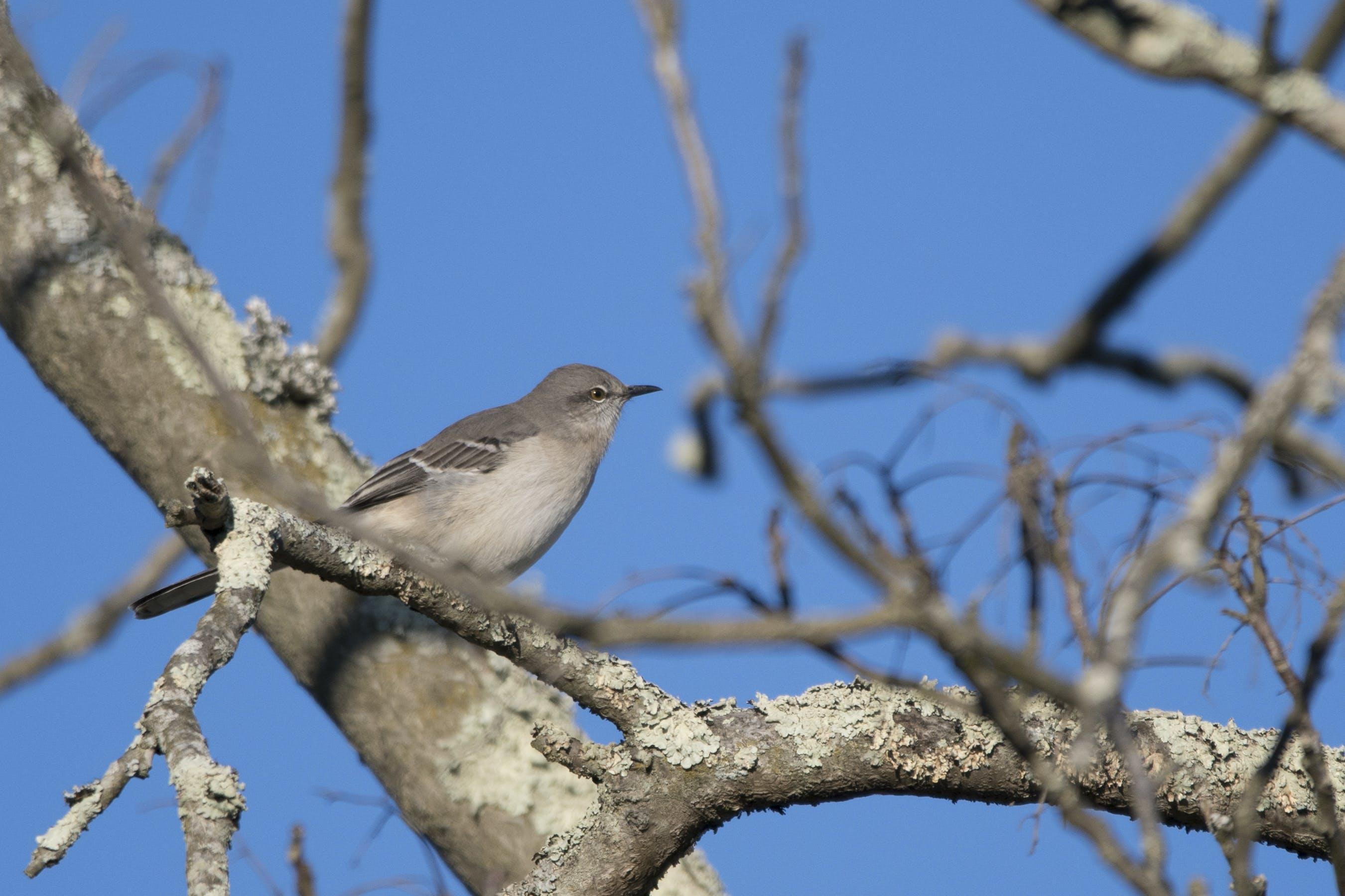 Free stock photo of bird, northern mockingbird