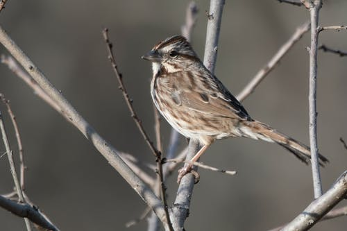 Free stock photo of song sparrow, sparrow