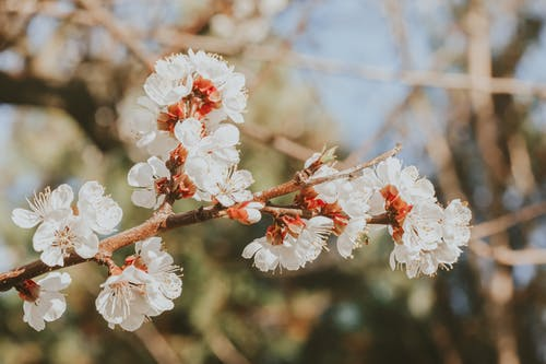Blooming apricot tree with white flowers on twig