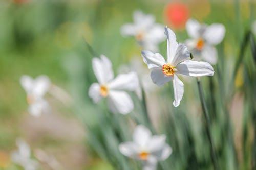 Blooming daffodils with gentle petals in garden