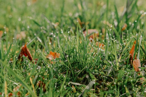 Grass with faded leaves and dew on meadow