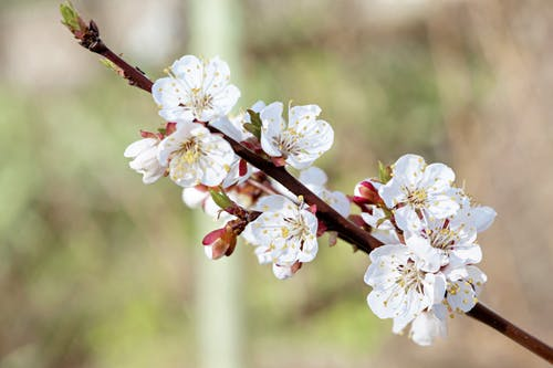 Blossoming white flowers with stamens and pleasant aroma growing on tree twig on blurred background