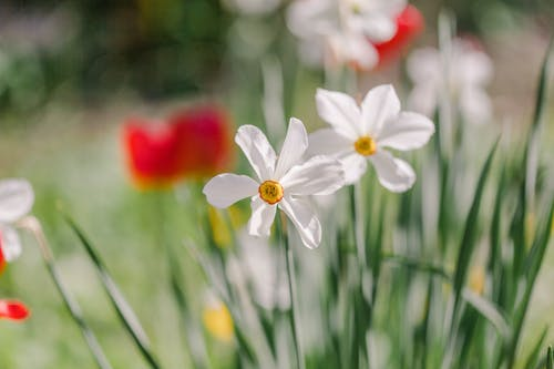 Blossoming jonquils with tender white petals and pleasant aroma growing in summer garden on blurred background