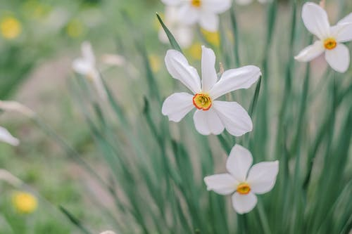 Blossoming white daffodils with tender wavy petals and pleasant smell growing in summer on blurred background