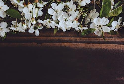 Blooming Prunus sprigs with tender flowers on brown background
