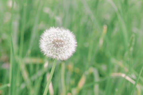 White dandelion on thin stem in countryside field