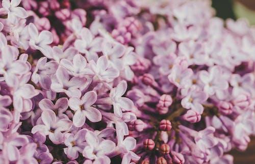 Blooming Syringa vulgaris flowers growing in garden