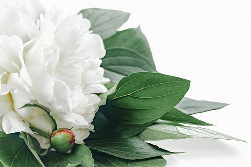 Fresh delicate Paeonia lactiflora flower placed on white surface