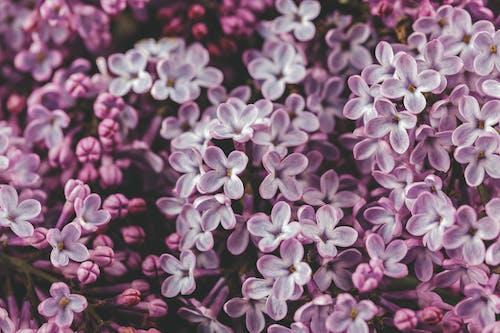 Blooming lilac tree growing in garden