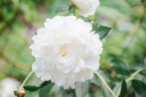 From above of delicate aromatic Paeonia lactiflora flower with gentle white petals growing in green garden on sunny spring day