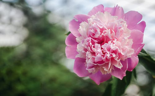 Low angle of fragrant fresh Paeonia lactiflora flower with gentle pink petals growing in green garden in daylight