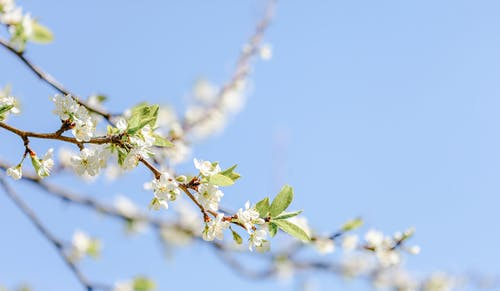 From below of thin twig of blooming cherry tree with tender white blossoms under cloudless blue sky on sunny day