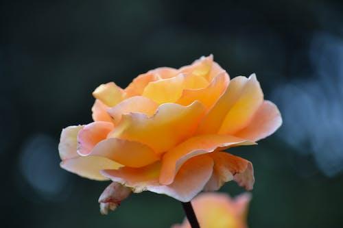 Free stock photo of beautiful flowers, blue, nature