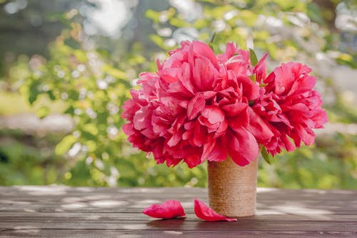 Bouquet of tender aromatic peonies with bright pink petals placed in jute vase on wooden table on terrace on sunny spring day