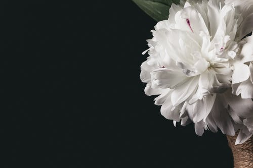 Blooming peony with gentle petals and pleasant aroma
