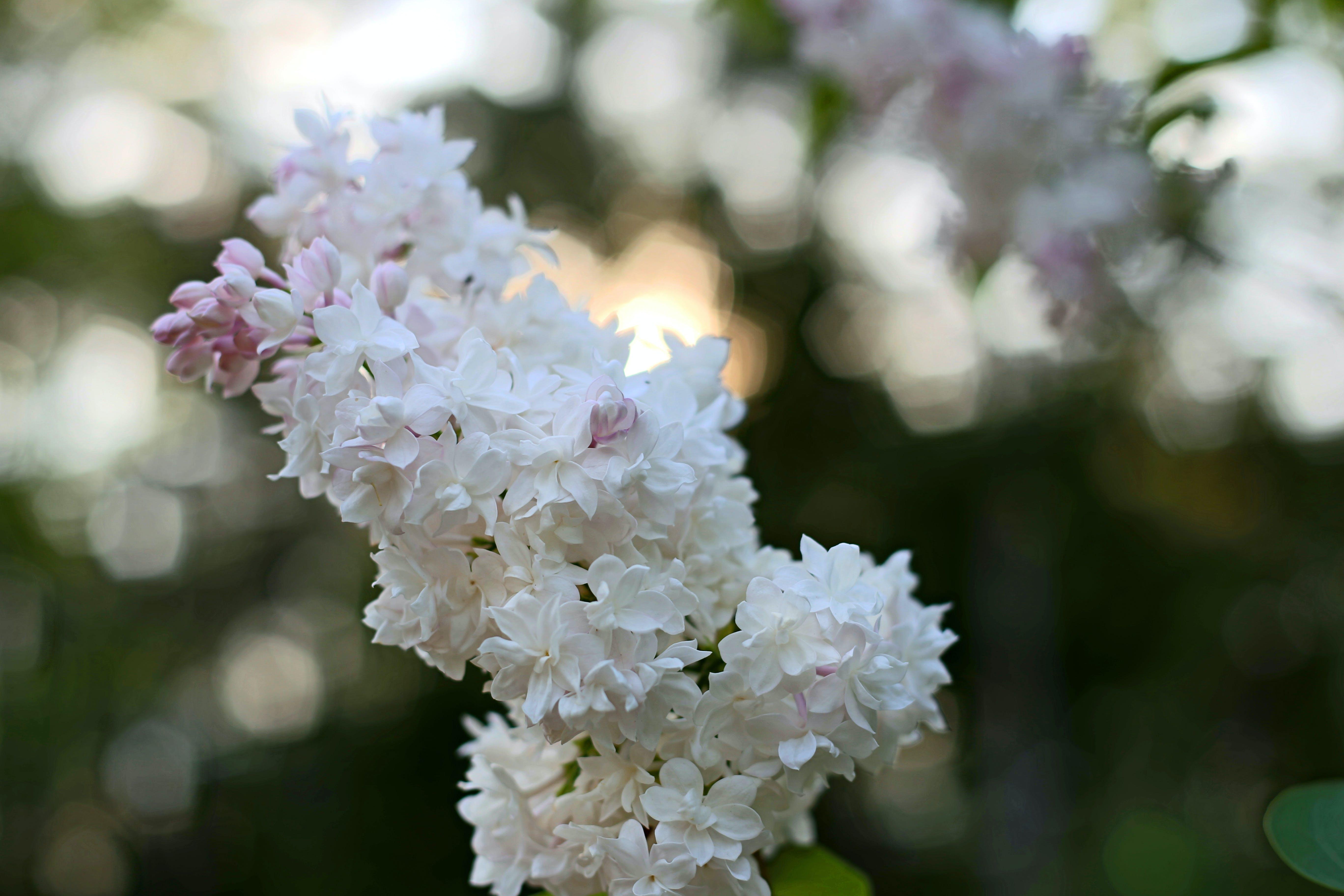 bokeh, flower, white
